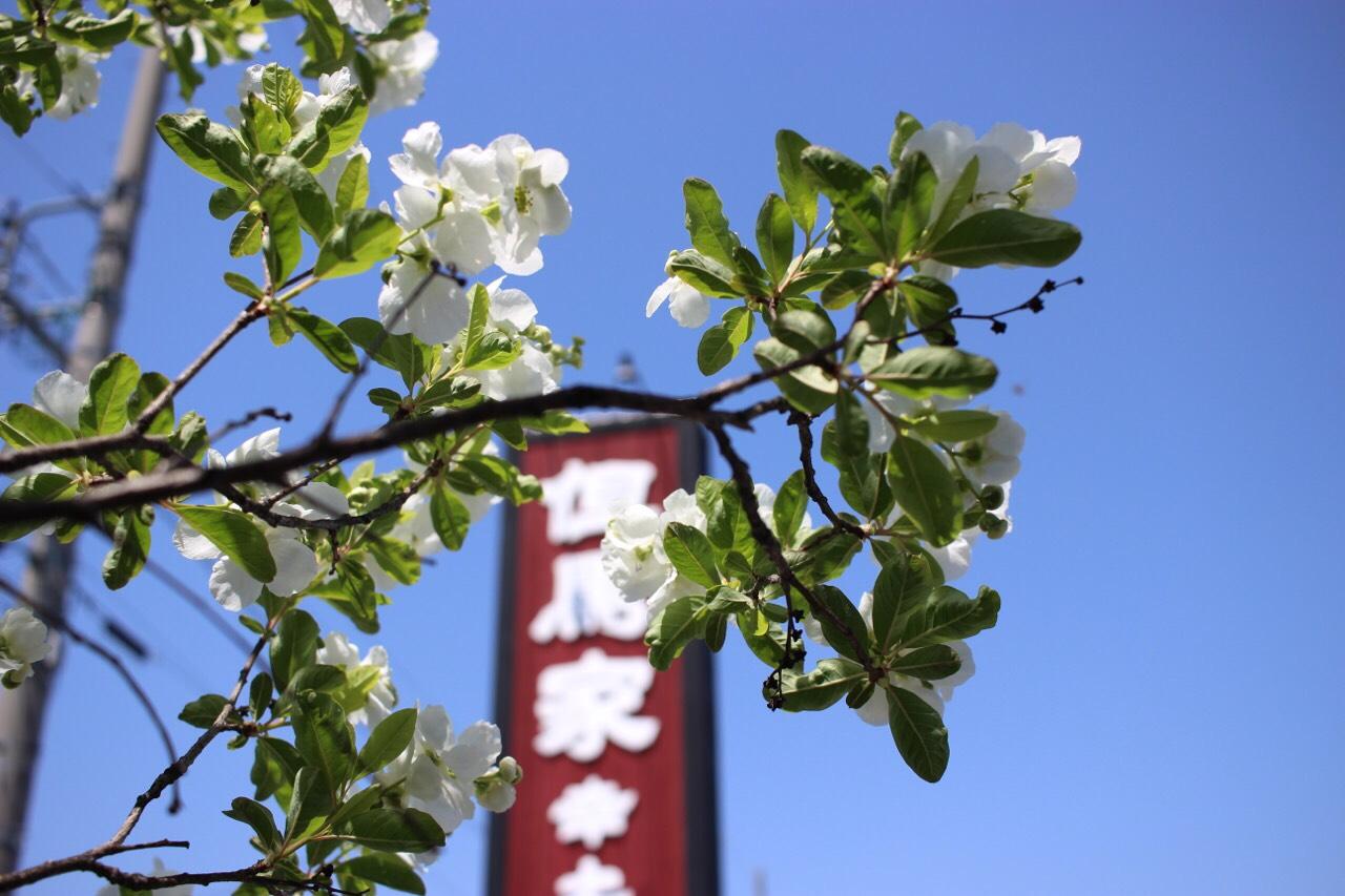 桜 但馬屋